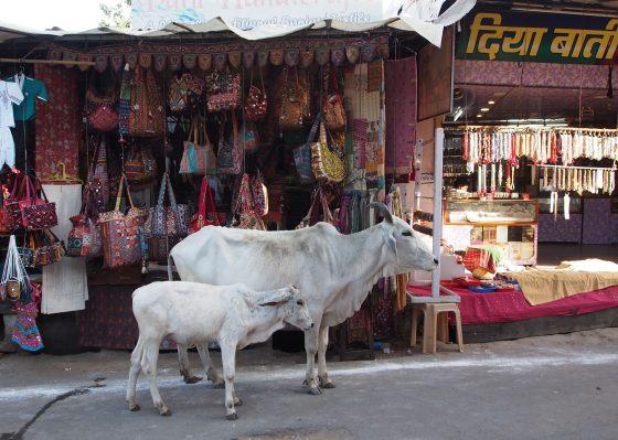 despre cultura indiana – vaca, un animal sacru